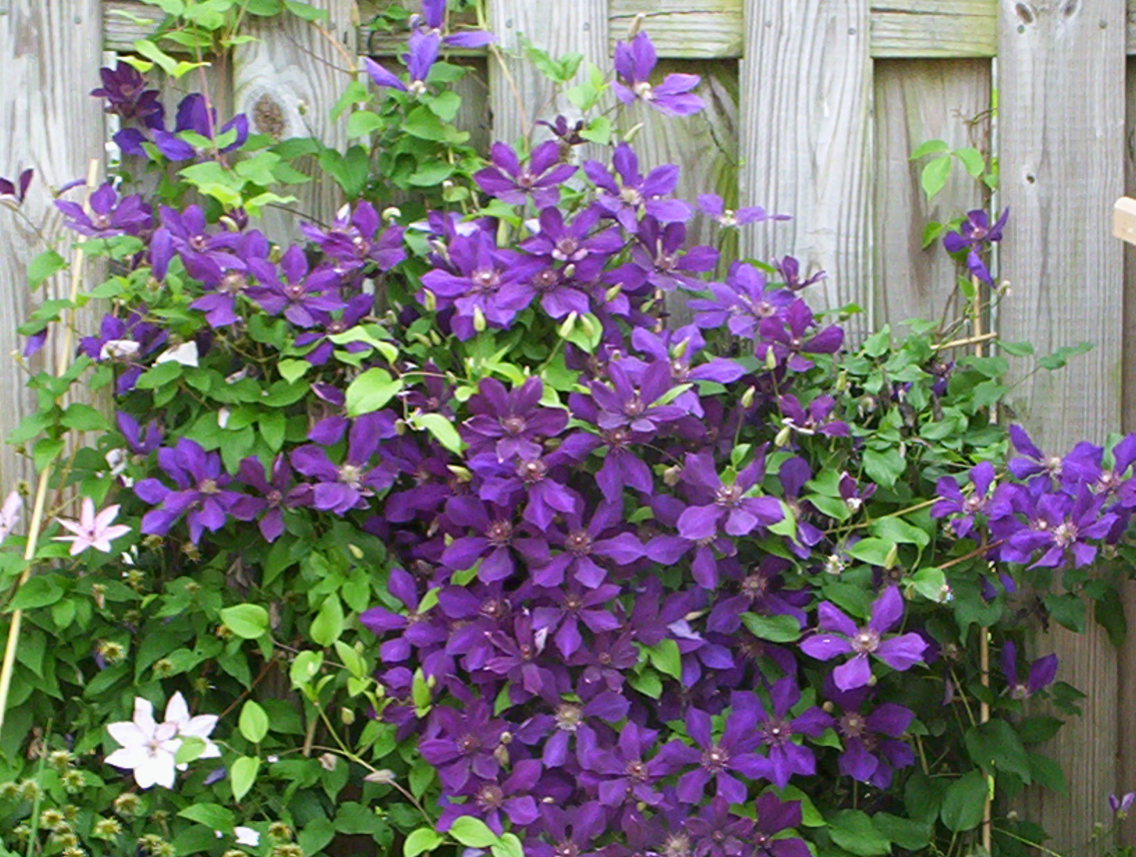 Klematis Clematis Pictures to pin on Pinterest